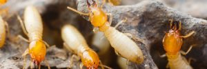 To Keep Colonies Growing, Termites Help Raise Their Siblings