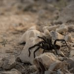 End of Mating Season Brings Tarantulas to Las Vegas Neighborhoods