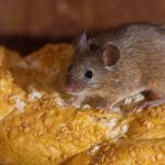 Mouse Infesting the Kitchen of a Nevada Home